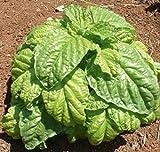 Mammoth basil (Ocimum basilicum) 100+ seeds Medicinal, Tea , herb ez grow CombSH