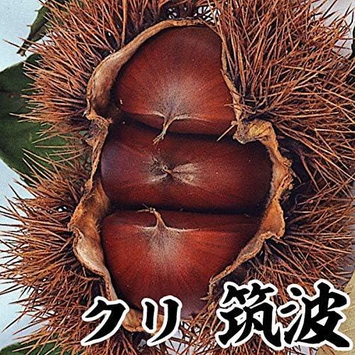 国華園 果樹苗 クリ 筑波 1株