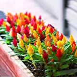 Best Garden Seeds Dwarf Plumed Cockscomb Mixed Seeds, 200 Seeds, celosia plumosa nana flowers bonsai
