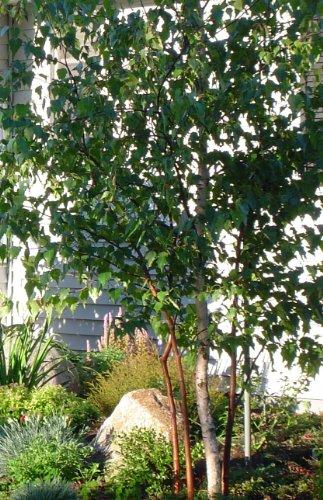 2' Birch (10 Paper Birch (Betula papyrifera) 1-2')