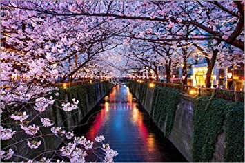 Posterlounge Acrylic print 30 x 20 cm: Pink cherry blossoms in Tokyo Japan by Jan Christopher Becke