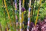 4 Plants - Bambusa Oldhamii Giant Timber Bamboo - Large 1 Gallon Plants - Non-Invasive Clumping Variety g