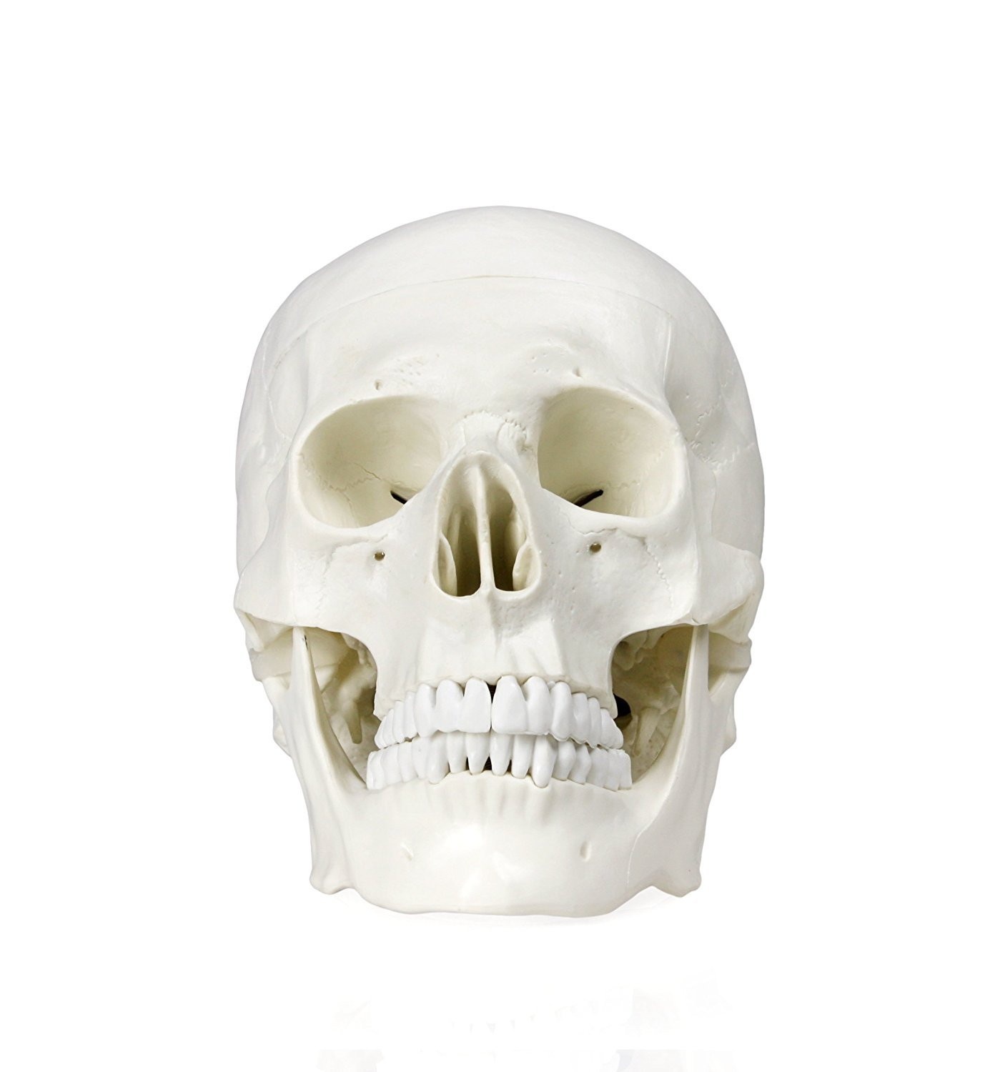 Human Adult Skull Anatomical Model, Life Sized (9' Height) Removable Skull Cap 3 Parts Back to School Life Sized (9 Height) Removable Skull Cap 3 Parts Back to School OIF
