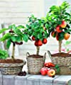 KNR 50PCS Cherry 100PCS Pear 150PCS Apple Dwarf Tree Mini Fruit Seeds for Home Garden Planting Perennial Plant