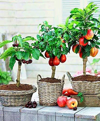 WANCHEN 10PCS Cherry 20PCS Pear 30PCS Apple Dwarf Bonsai Tree Mini Fruit Tree for Home Garden Planting Perennial Potted Plant (Seeds not Plants)