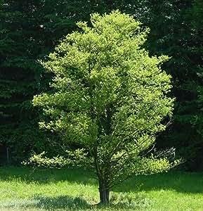 50 Black Alder Tree Seeds, Alnus Glutinosa