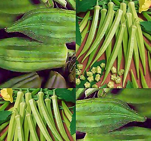 2 lb (15,000+ Seeds) Clemson Spineless Okra seeds - Very Fine quality for making soups and gumbo - Heavy Producer - 55 Days - Non-GMO Seeds By MySeeds.Co (2 lb Clemson Okra) by MySeeds.Co - VEGETABLE Seeds by the LB