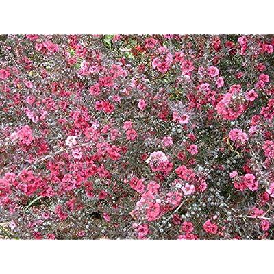 20 Seeds Leptospermum Scoparium New Zealand Tea Shrub Garden tkgre : Garden & Outdoor