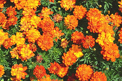100 Petite Dwarf Marigold Seeds by RDR Seeds