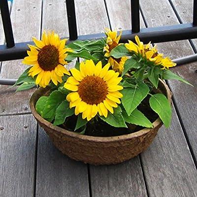 60 Dwarf Sunflower Asteraceae Seeds ~Chris's garden