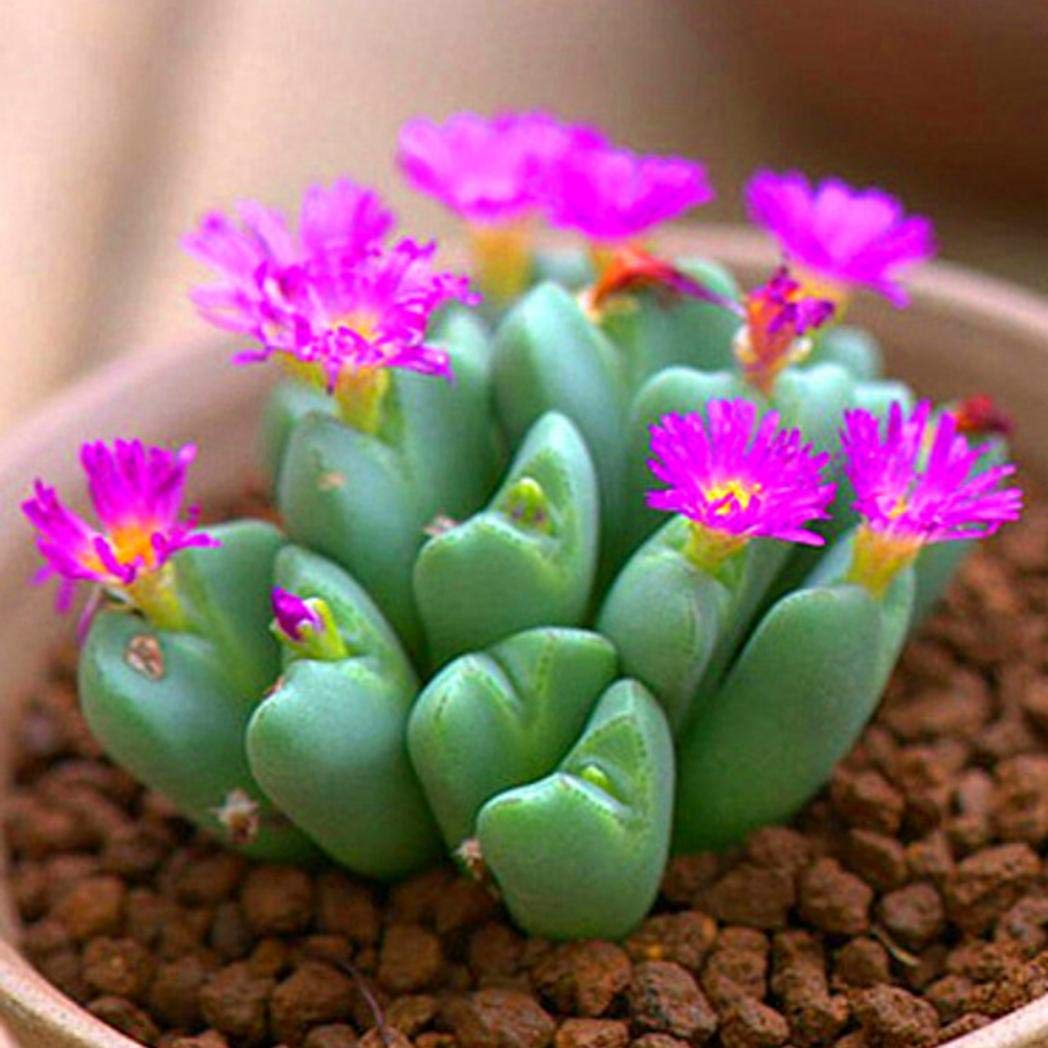 DNelo Semillas Plantas 100 Piezas Suculentas Semillas Vivas Lithops Piedra de la Flor Bonsai Planta Ornamental Decoraci/ón Semillas Suculentas