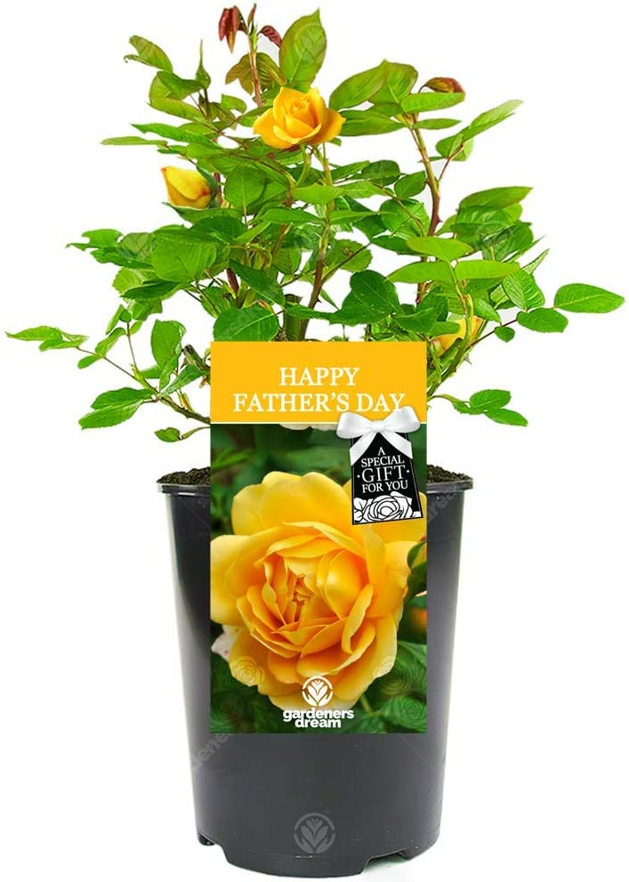 Gift for Dad Happy Fathers Day Rose Celebrate Fathers Day with a Unique Living Plant Gift