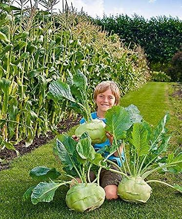 Kohl Rabi Superschmeltz x 300 seeds.
