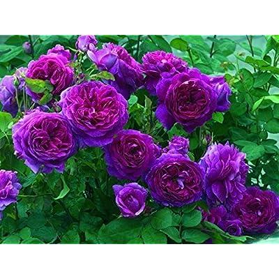 10 Purple Climbing Rose Seeds/ : Garden & Outdoor