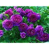 10 Purple Climbing Rose Seeds/