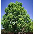 Green Ash Tree Seeds, Fraxinus Pennsylvanica
