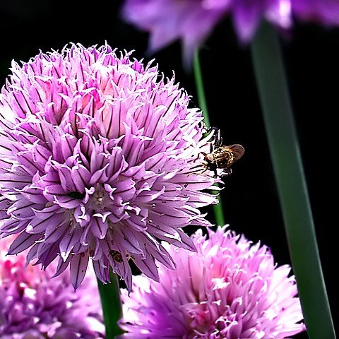 Chives Hardy Perennial Easy Grow