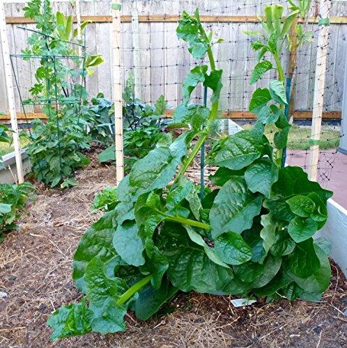Grow Spinach: Amazon.Com