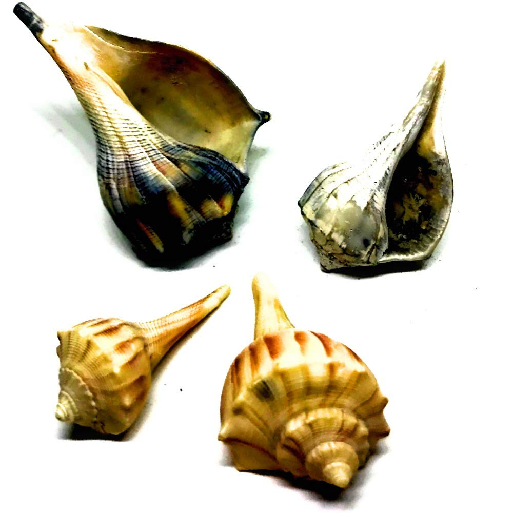 THE OTHER TIDE Hermit Crab Shells 4 Medium SOURCED from Territory of Thriving Wild Hermit Crab Population