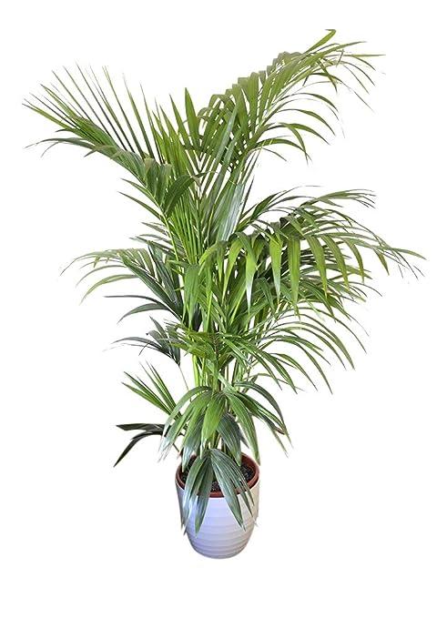 Planta de interior - Planta para la casa o la oficina ...