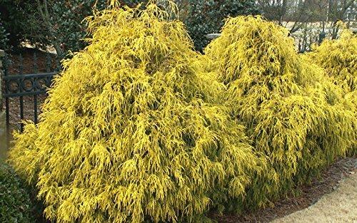 Gold Mop Cypress (Threadleaf False Cypress), 1 GAL