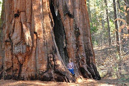 100-giant-sequoia-tree-seeds-sequoia-gigantea