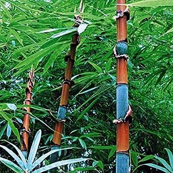 100x Samen Phyllostachys Pubescens Moso-Bambus Samen Garten Dekor Pflanzen TOP