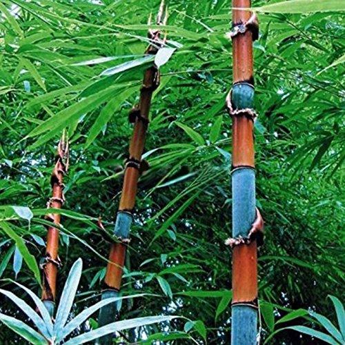 Rosepoem 100Pcs Phyllostachys Pubescens Moso Bambus Samen Pflanzmehrj/ährige Pflanzen L