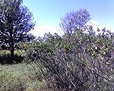 4 Black Chokeberry Shrubs (Aronia melanocarpa) 1-2' Seedlings