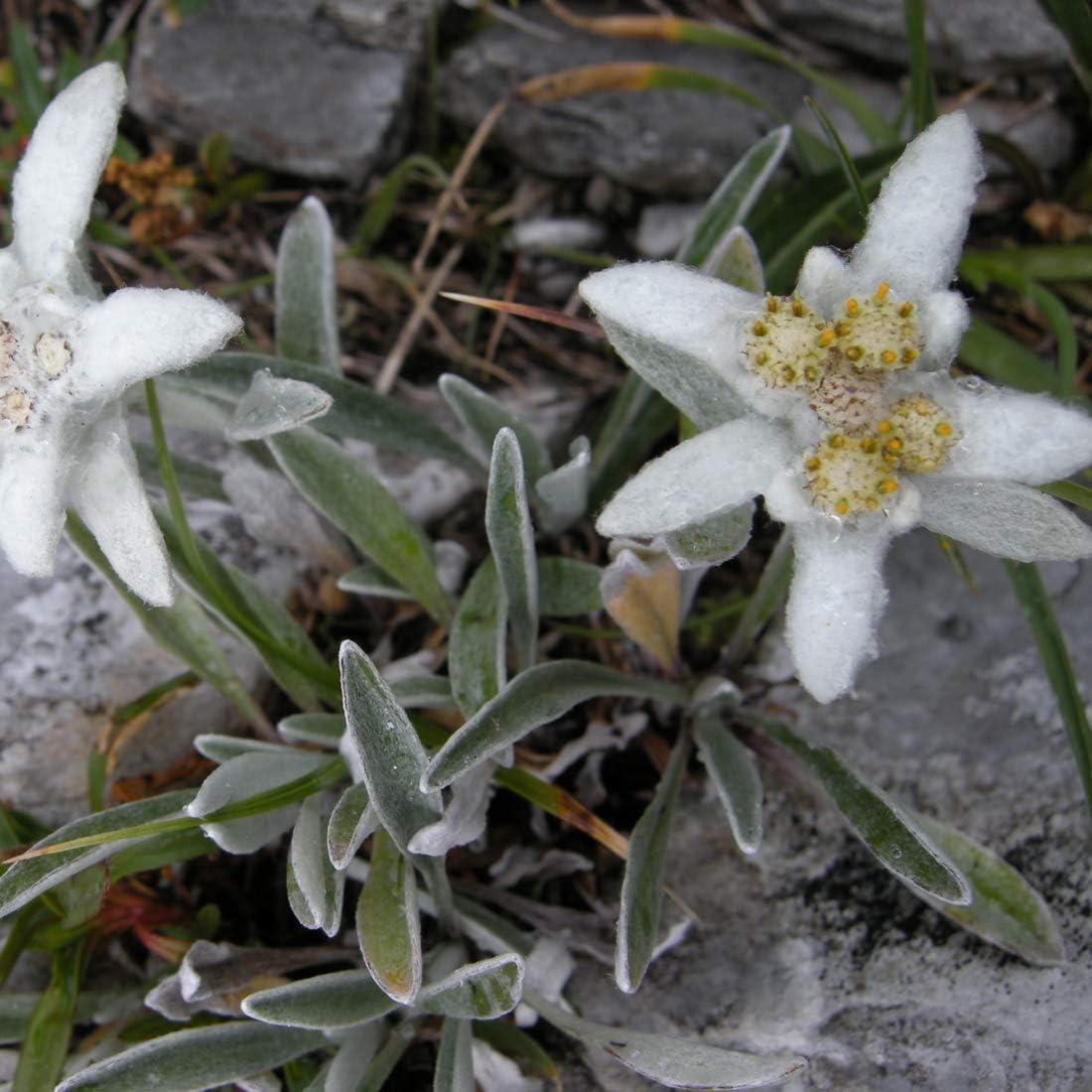 6 x Leontopodium Alpinum Edelweiss des Alpes Godet 9x9cm