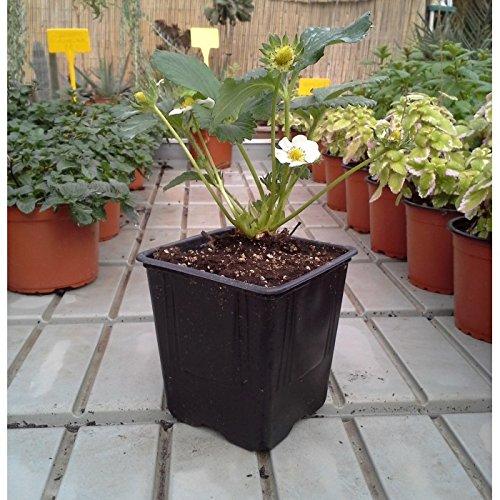 TodoHuertoyJardin - Planta de fresa: Amazon.es: Jardín