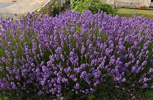 - Go Garden English Lavender Lavandula Angustifolia - 200+ Seeds