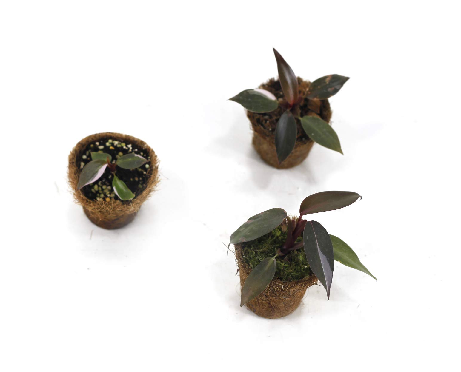 Philodendron Pink Princess Young Plant Trio Set by Joinflower Joinfolia (Image #1)