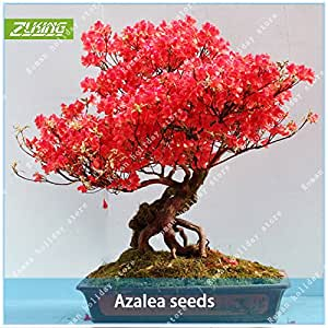 ZLKING 20 semillas Semillas para PC azaleas Vida Libre Bonsai Flor natural especializado crecimiento de China para el regalo de plantación Inicio Jardín