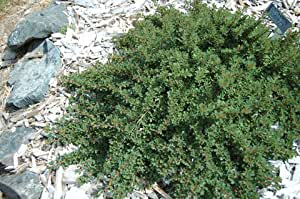 2 Year PLANT of Cotoneaster Microphyllus Cooperii