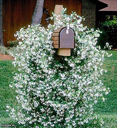 December01 &Trachelospermum jasminoides evergreen star jasmine climbing ()