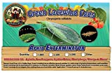 Green Lacewing 1,000 Eggs - Good Bugs - Aphid Exterminator