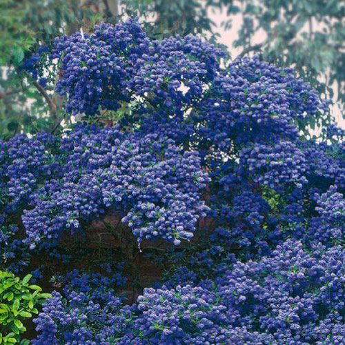 1 X CEANOTHUS 'CONCHA' EVERGREEN SHRUB HARDY GARDEN PLANT IN POT GDUK