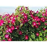 Seedscare Morning Glory Red Seeds (Pack of 30+)