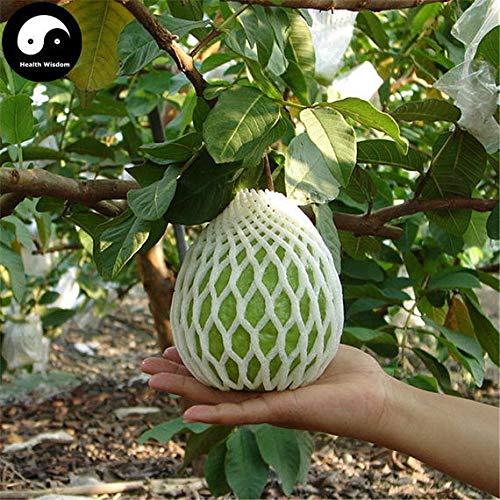 60pcs: Buy Real Guava Fruit Tree Seeds Plant Fruit psidium guajava Grow Fan shi liu by SVI (Image #3)