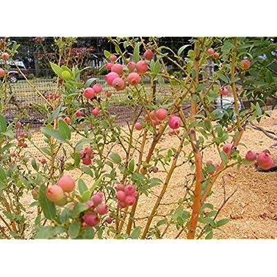 Pink Lemonade Blueberry (Vaccinium) - Live Plant (Full Gallon Pot) : Garden & Outdoor