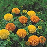 African Marigold Flower Garden Seeds -Inca II Series F1 - Mix - 1000 Seeds - Annual Flower Gardening Seeds - Tagetes erecta