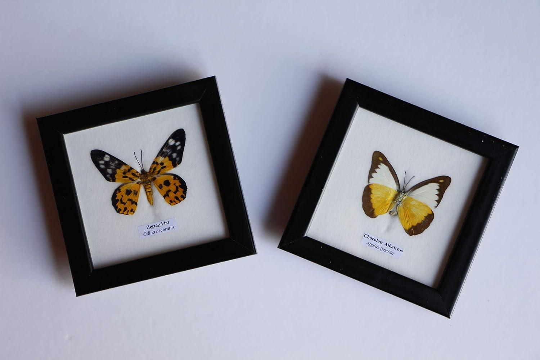 Cadre Véritable Papillon ,décoration,cadeau,,taxidermie Urania ripheus