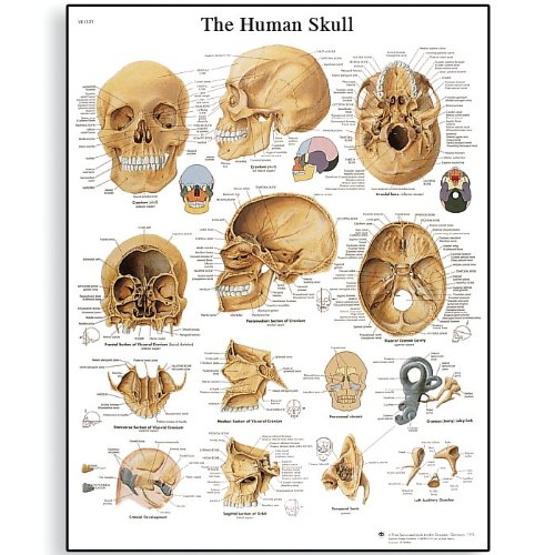 3B Scientific VR1131UU Glossy Paper Human Skull Anatomical Chart, Poster Size 20″ Width x 26″ Height