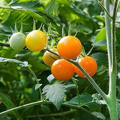 Sun Sugar Tomato Seeds (40 Seed Pack) : Garden & Outdoor