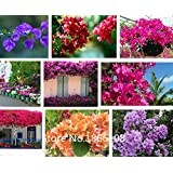 home & garden 200pcs/bag,Bougainvillea seeds, potted seed, flower seed, variety complete, the budding rate, (Mixed colors)