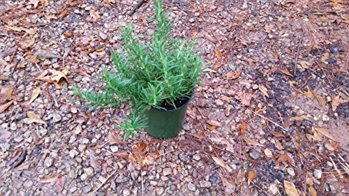 ROSEMARY Christmas tree - Gorgeous Mini Christmas Tree-also great herb, EXCELLENT GIFT