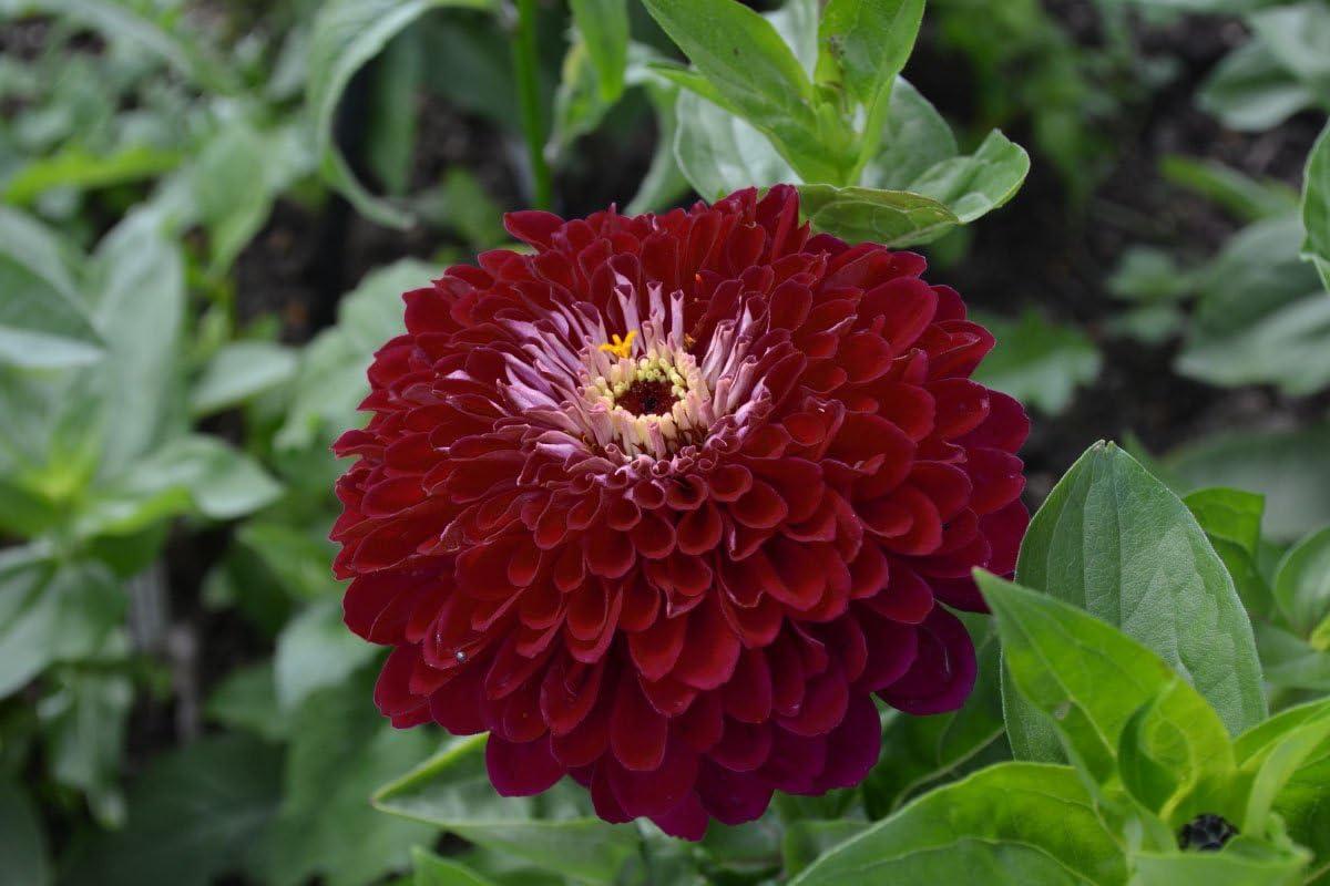 Zinnia con flores de dalia Violet Queen semilla