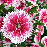 LOadSEcr's Garden 50Pcs Rare Dianthus Chinensis Plant Flower Seeds Non-GMO Ornamental Plants Yard Office Decoration, Open Pollinated Seeds