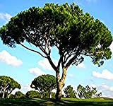 4 Packs x 5 Italian Stone Pine Tree Seed Seeds - Pinus pinea - Edible Pine Nuts - Umbrella Pine - Zone 7-11 - Seeds by MySeeds.Co